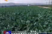 """永登:武胜驿镇""""高原夏菜""""喜获丰收"""