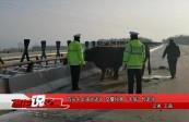 """四头牛上演大逃亡 交警化身""""牛倌""""忙赶牛"""
