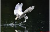 厦门东渡闸口拍摄白鹭捕鱼图