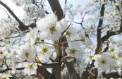 什川古梨园景区千树万树梨花绽放成花海