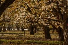 農業農村部公布第二批中國全球重要農業文化遺產預備名單 皋蘭什川古梨園位列其中