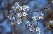 宏图传真——兰州什川古梨园,千树万树梨花开