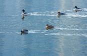 宏图传真——黄河候鸟