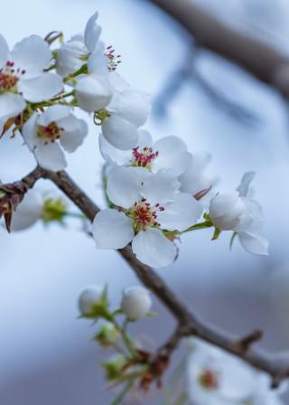 梨花杏花争芬芳