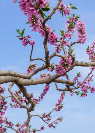 宏图传真——在那桃花盛开的地方