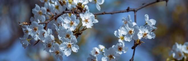 宏圖傳真——蘭州什川古梨園,千樹萬樹梨花開