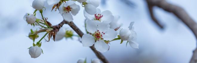 梨花杏花爭芬芳